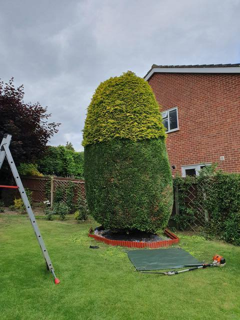 Conifers clipped and tidied up Cedardale tree surgeons Guildford