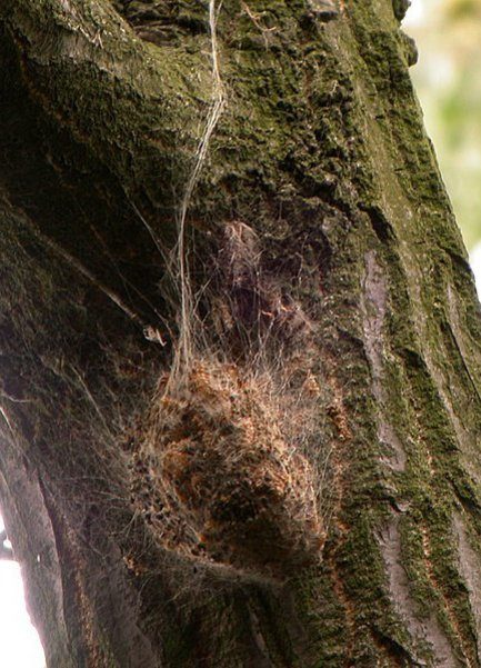 Spotting the Oak Processionary Moth in Surrey Hampshire and Berkshire