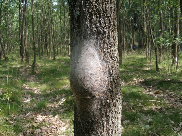 Oak Processionary Moth nests in Surrey Hampshire and Berkshire
