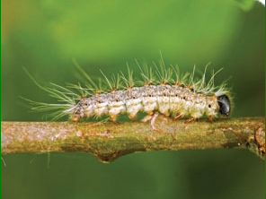 Oak Processionary Moth Caterpillars in Surrey Hampshire and Berkshire