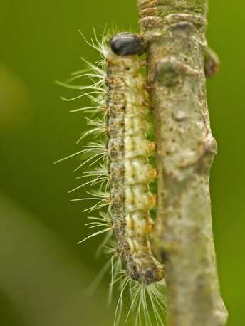 Oak Processionary Moth caterpillar in Surrey Hampshire and Berkshire