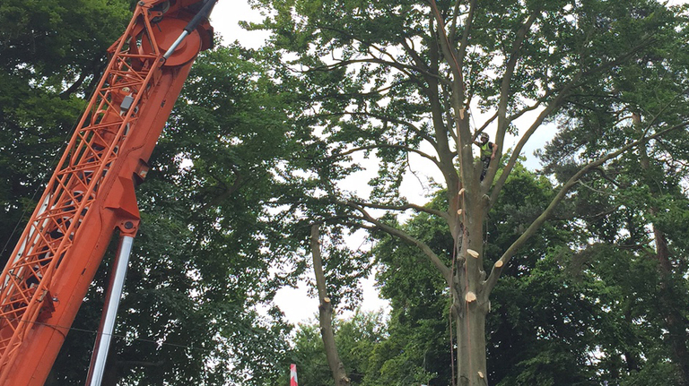 Tree Removal Camberley